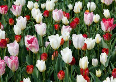 tulips-22011_1920